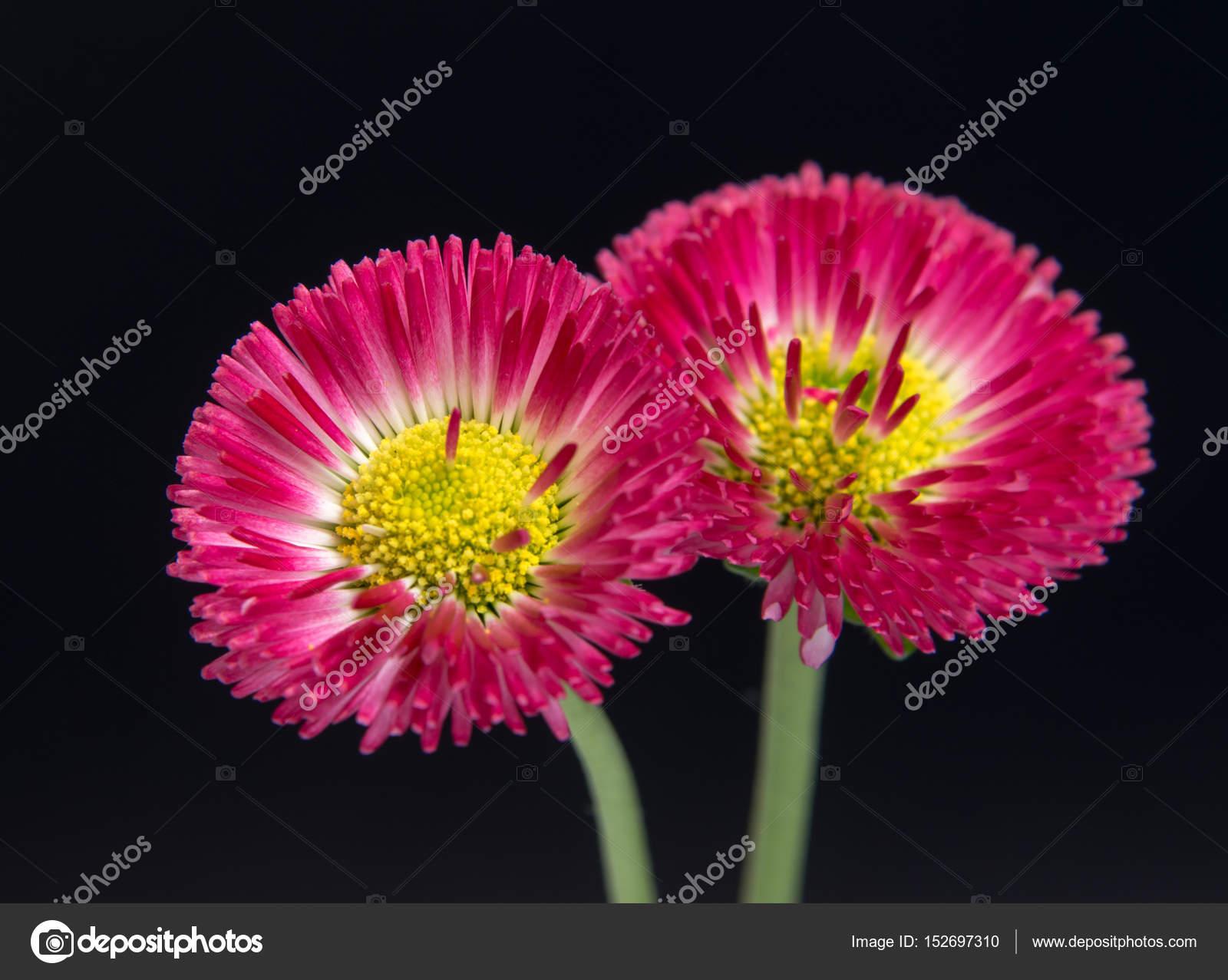 Beautiful daisy flowers isolated on black background stock photo beautiful daisy flowers isolated on black background cutout photo by allaordatiy izmirmasajfo Choice Image