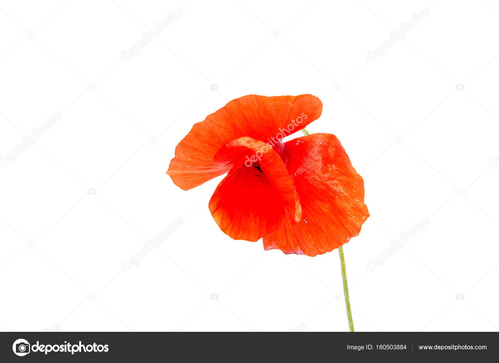The Beautiful Flower Poppy Grows In The Wild Nature Stock Photo