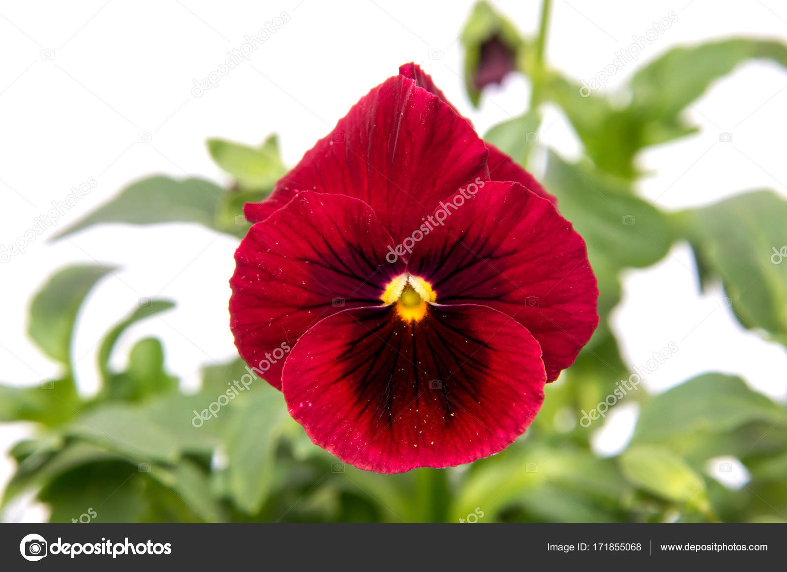 Beautiful Daisy Flowers Isolated White Background Cutout Stock
