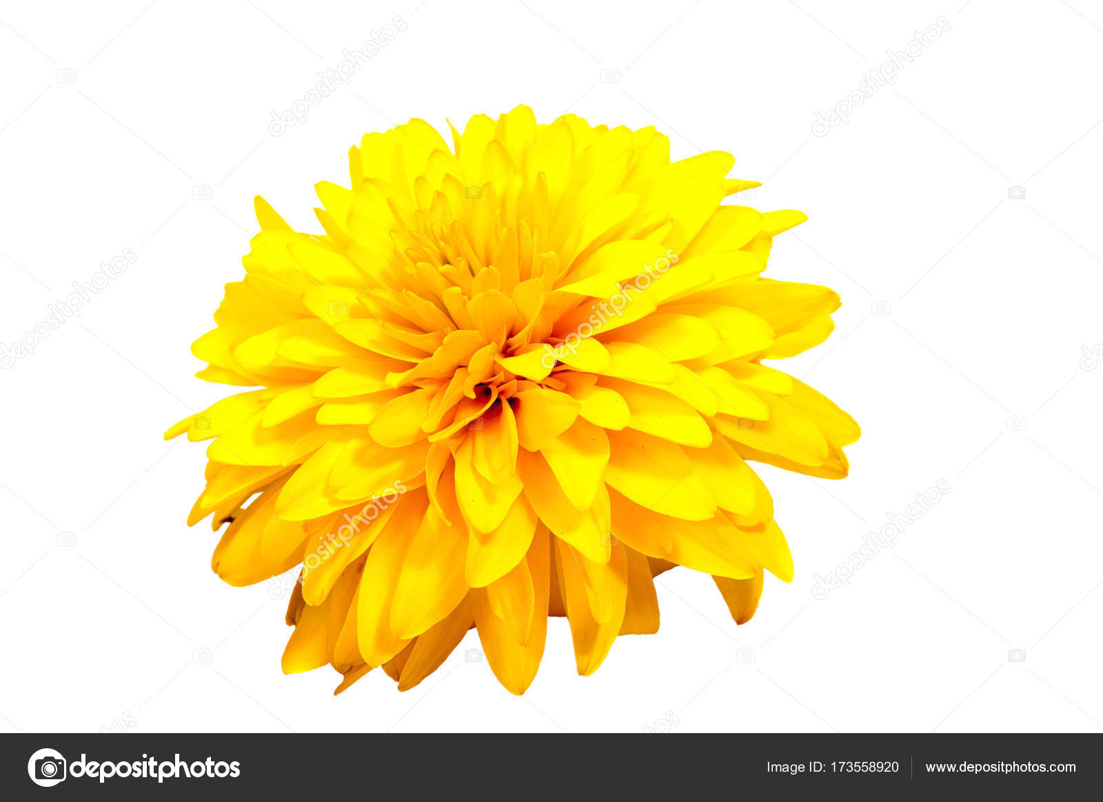 Chrysanthemum Flower On A Long Stem On A White Background Stock