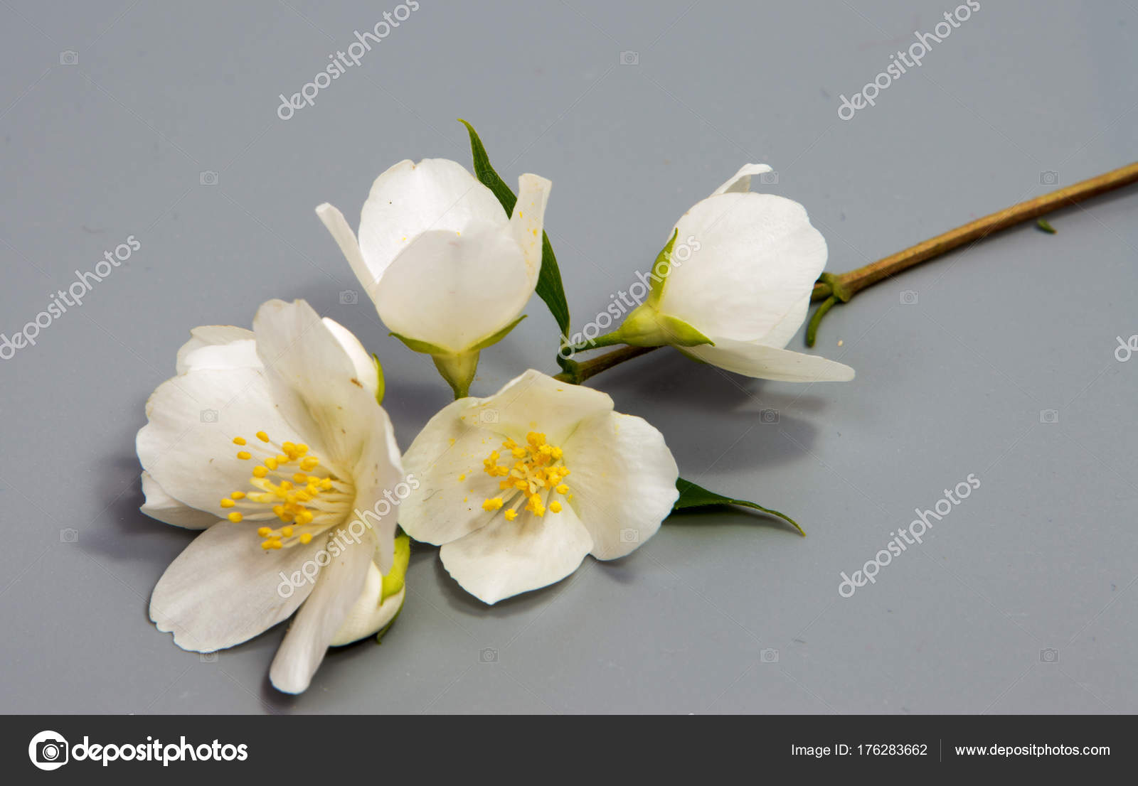Branch Jasmine Flower Isolated White Jasmine Flower Stock Photo