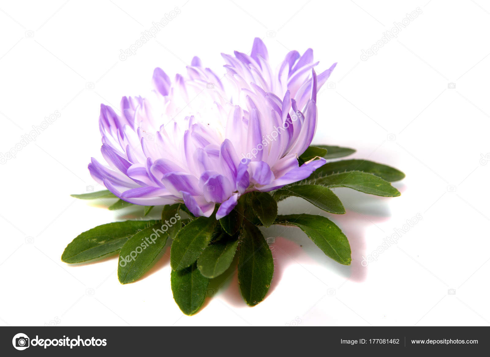 Colorful Aster Flowers Isolated White Background Stock Photo