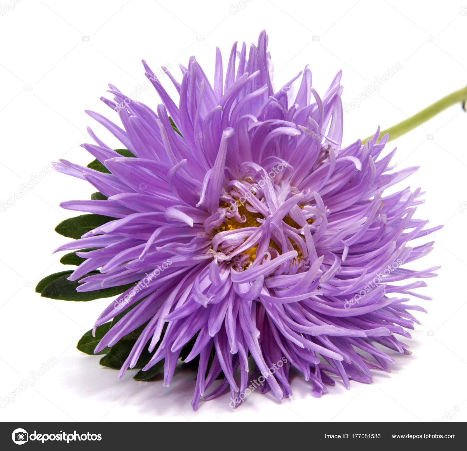 Colorful aster flowers isolated white background stock photo colorful aster flowers isolated on white background photo by allaordatiy mightylinksfo