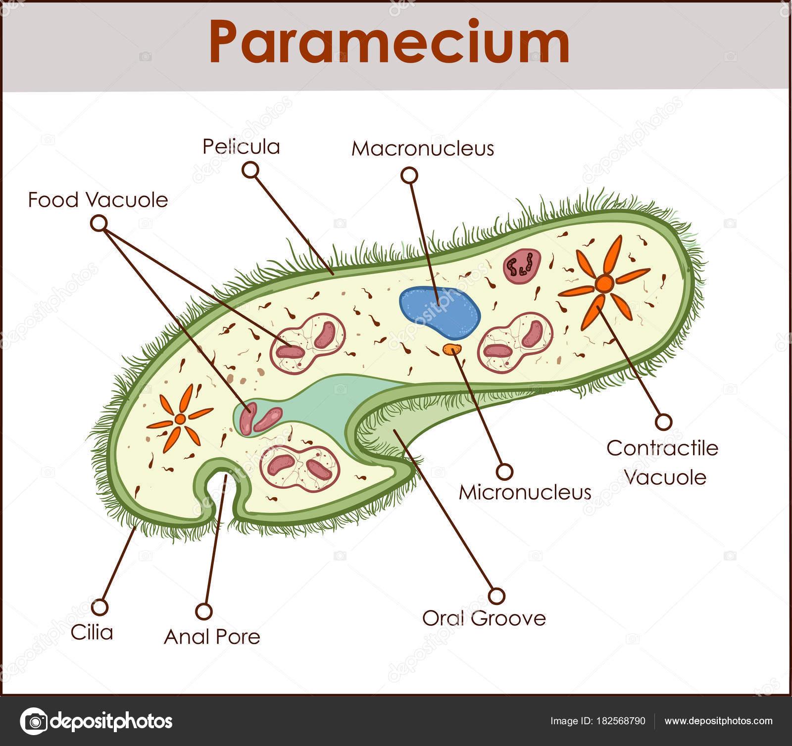 A estrutura do paramecium saudatum vetor de stock corbacserdar a estrutura do paramecium saudatum vetor de stock ccuart Images