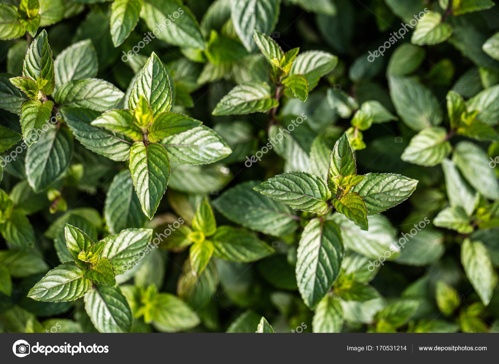 Aromatic Chocolate Mint Plants For Botanic Wallpaper Top View Stock Photo