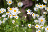 sunny group of Leucanthemum Vulgare or wild daisy flowers in springtime green meadow or grass for symbol of love and beautiful melliferous European backyard