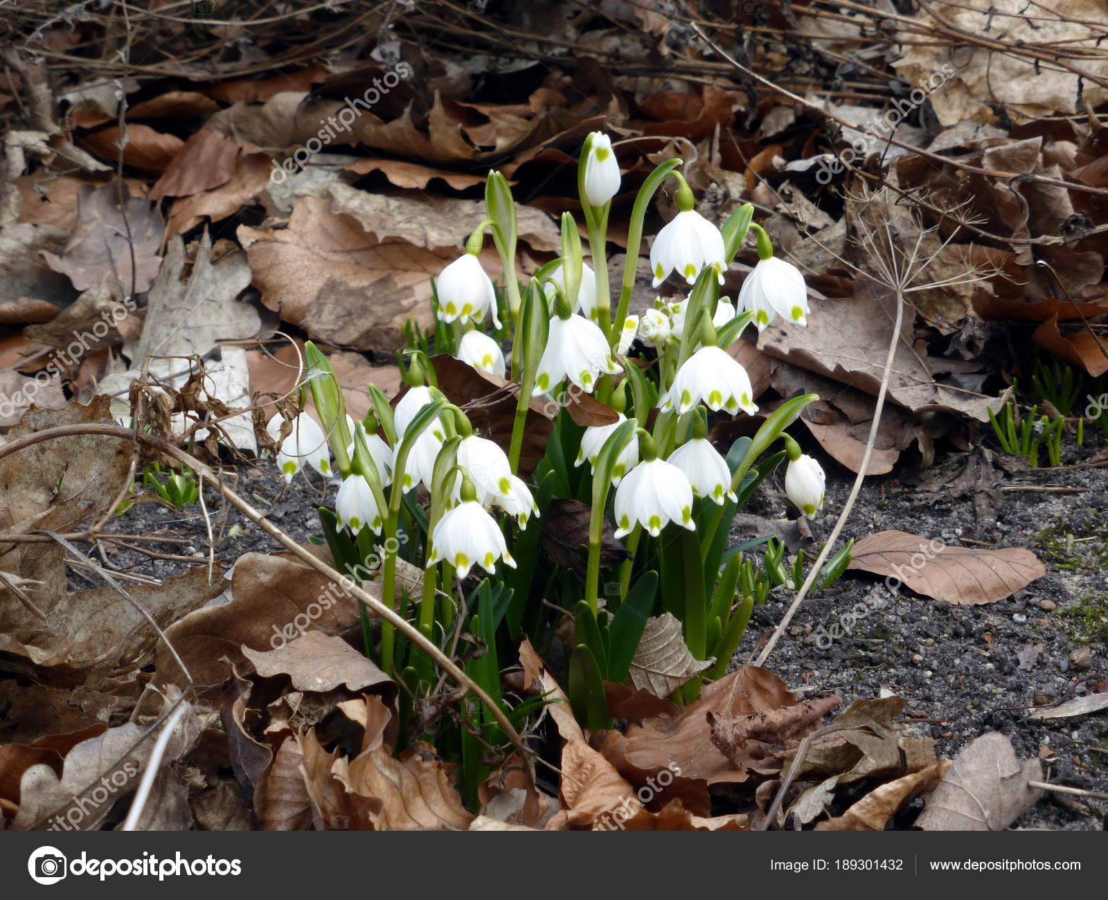 First Spring Flowers Snowdrops Snowflake Autumn Dry Leaves Stock