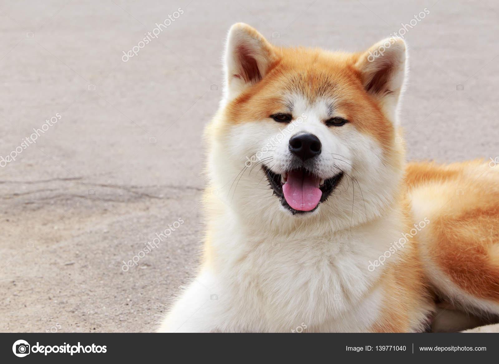 Modish pies rasy Akita inu — Zdjęcie stockowe © DevidDO #139771040 KK18