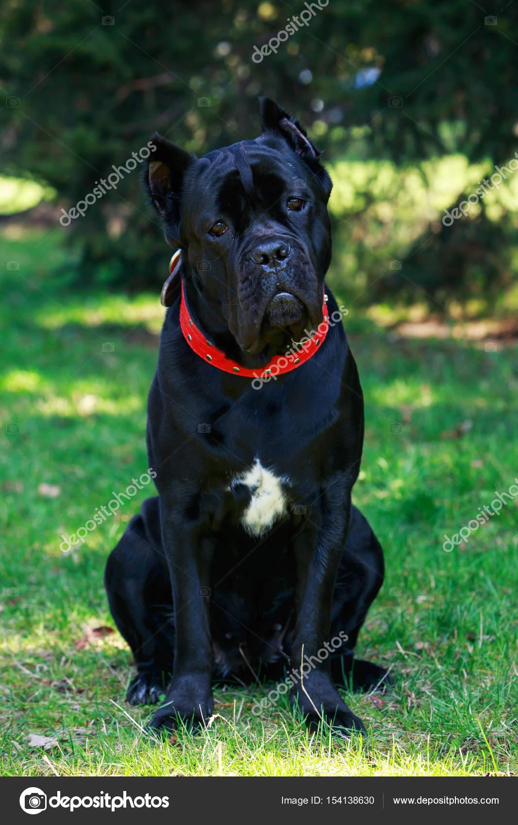 Dog Breed Cane Corso Italiano стоковое фото Deviddo 154138630