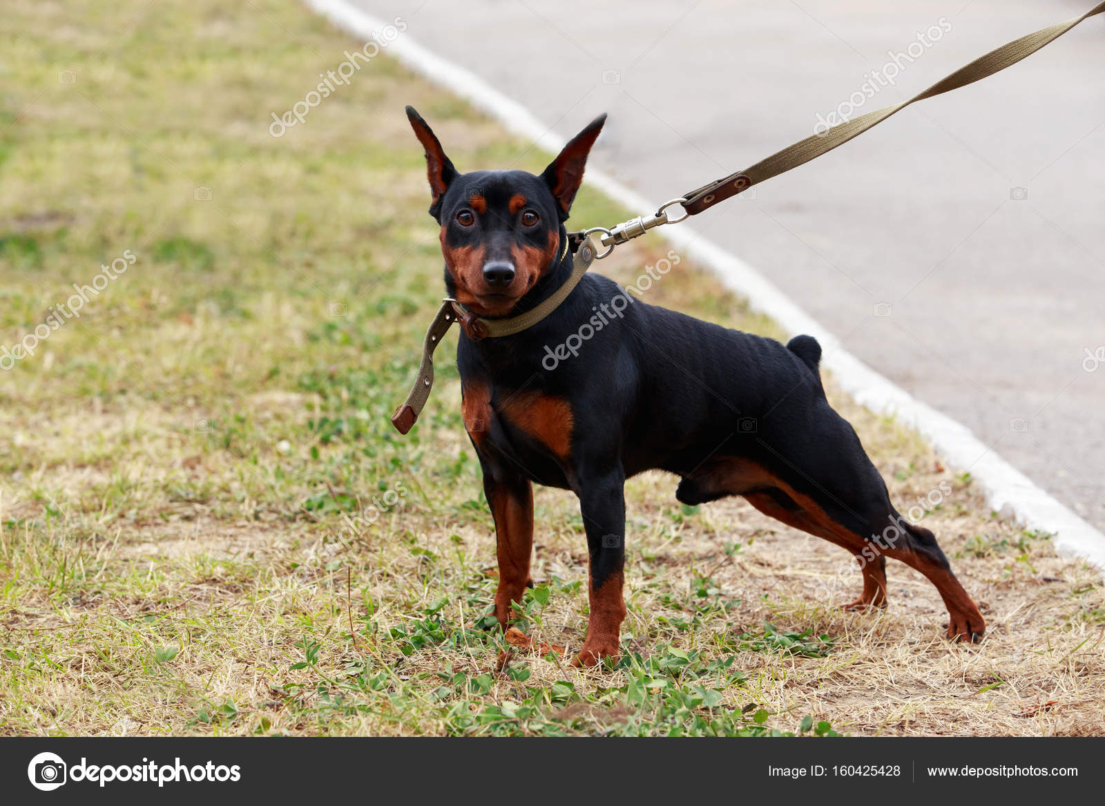 Dog Breed Mini Pinscher Stock Photo Deviddo 160425428