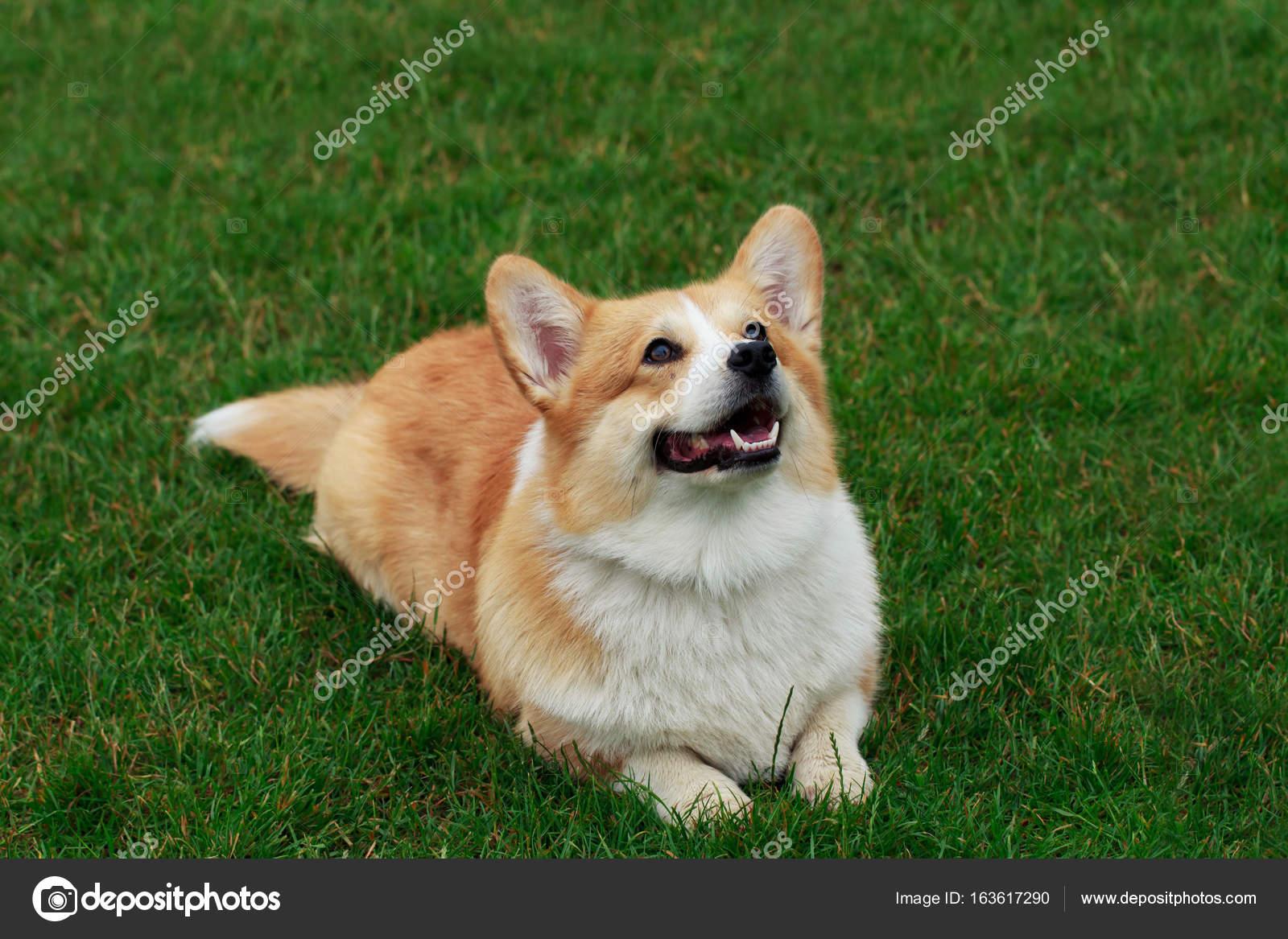 Unikalne pies rasy welsh corgi pembroke — Zdjęcie stockowe © DevidDO #163617290 KY87