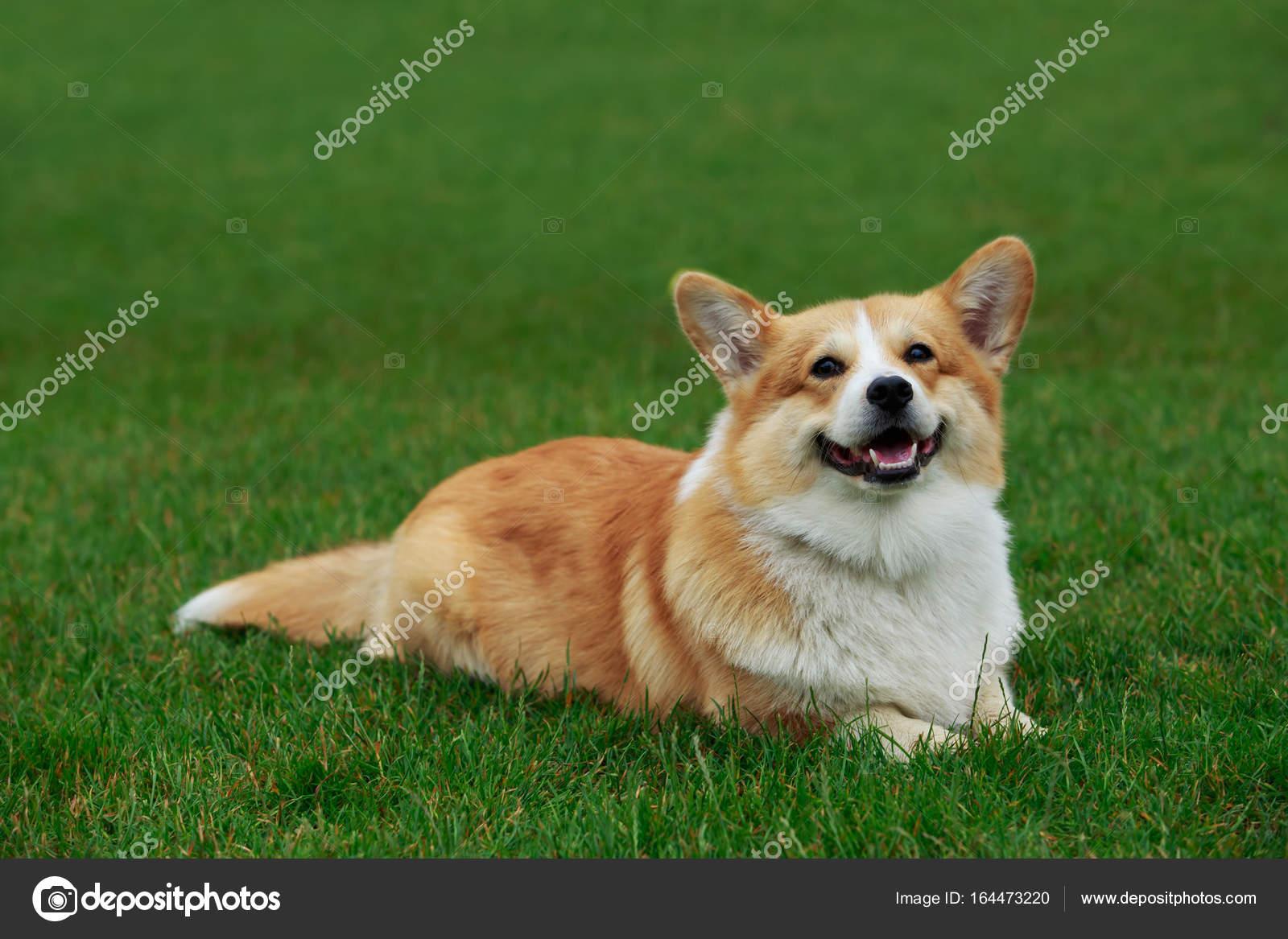 Nowość pies rasy welsh corgi pembroke — Zdjęcie stockowe © DevidDO #164473220 YE53