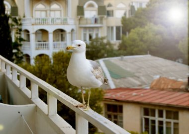 A Seagull on the balcony begs for food, in the background a building and mountains, city life, the sea coast, sunset
