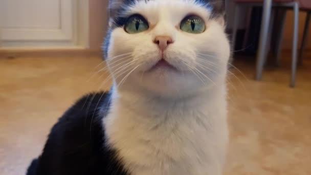 Aranyos aranyos aranyos fekete-fehér belföldi macska ül csendben a padlón a lakásban, és nézi a kamera, portré egy hazai macska, barátságos kisállat