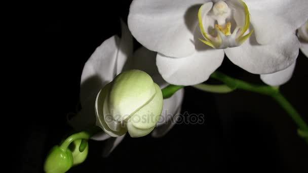 Knospenorchideenblüten