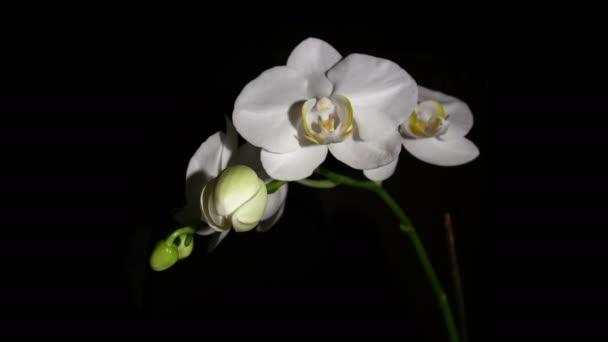 Bud Orchid květy