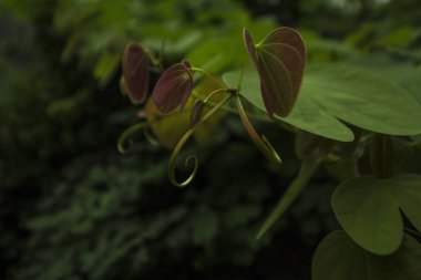 Mustachioed plant of Honk-kong forest