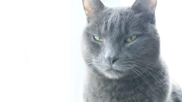 Macska portré. Heves morcos fajtiszta macska. Vicces háziállatok. A macska szeme közelről.