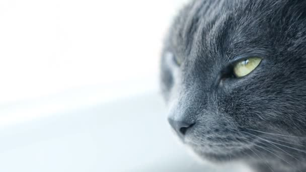 Cat Portrait. Fierce Grumpy purebred Cat. Funny domestic Pets. Close-up of Cat eyes.