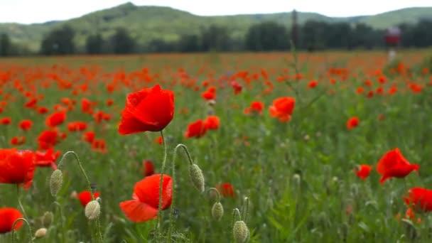 Piros pipacs virágok tárgyalják a szél