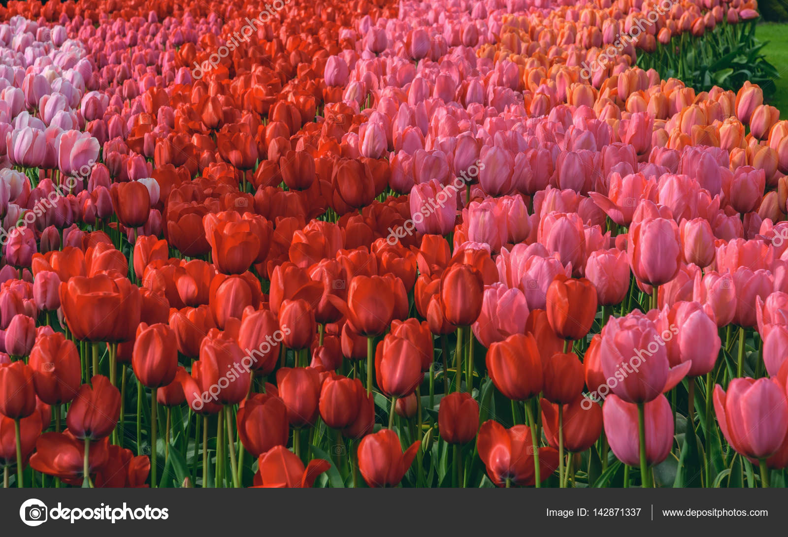 Fondos de pantalla de tulipanes holandeses