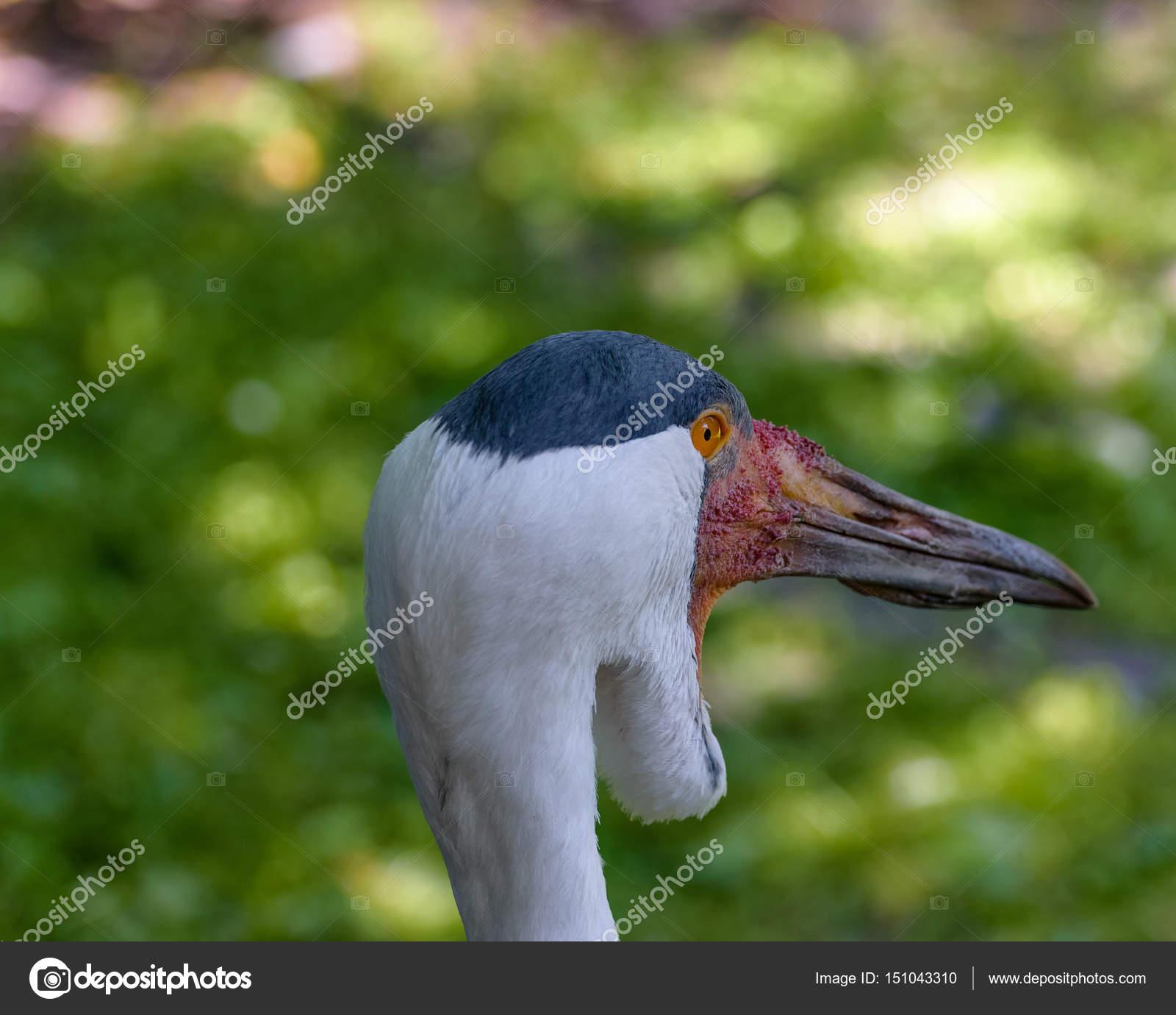 Μεγάλο πουλί προσώπου
