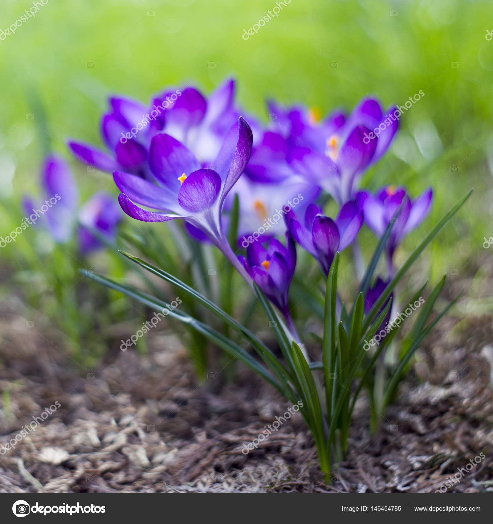 Crocus One Of The First Spring Flowers Stock Photo Mira