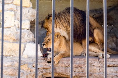 A pair of lions in captivity in a zoo behind bars. Marriage period for lions. Animal instinct.