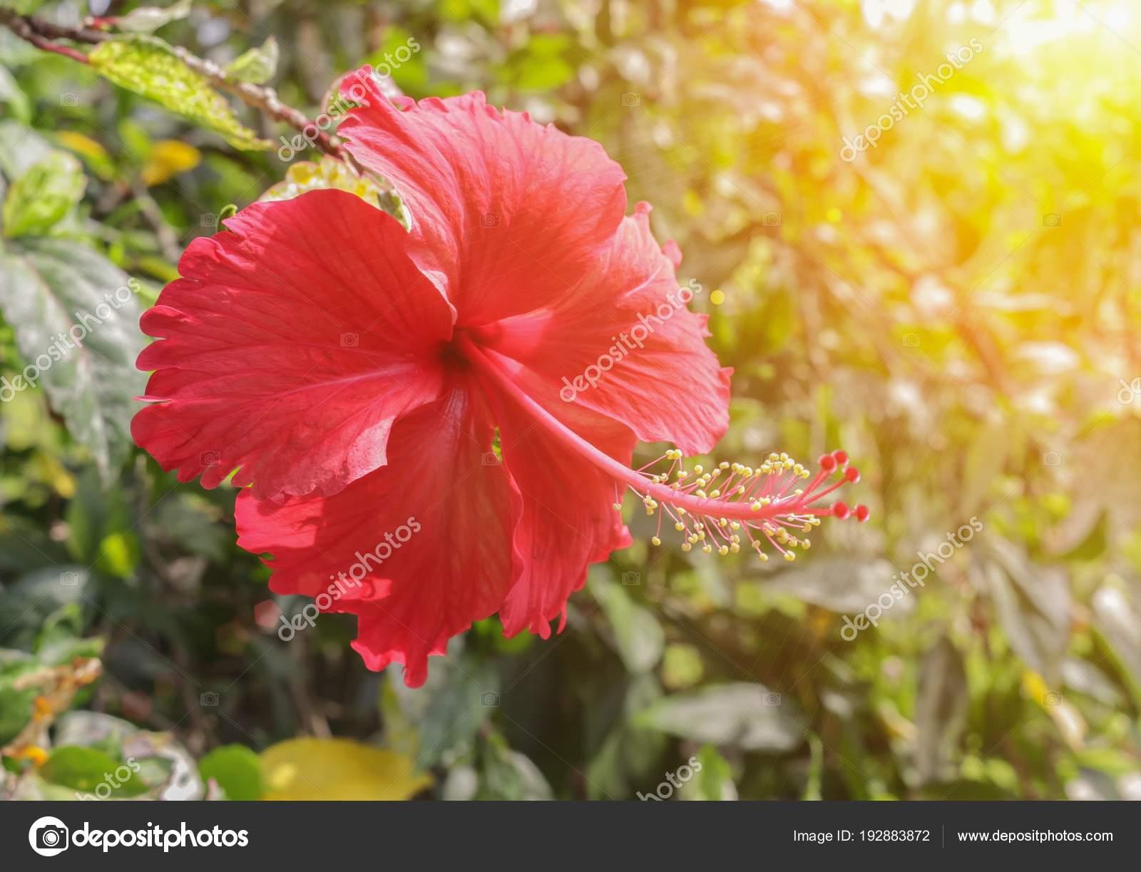 Hibiscus. belle fleur rouge dans le jardin — Photographie Pramot ...