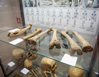 Azov, Russia - July 27, 2019: Parts of the skeleton of prehistoric people found during excavations. Exhibits of the Azov Historical Archeological and Paleontological Museum.