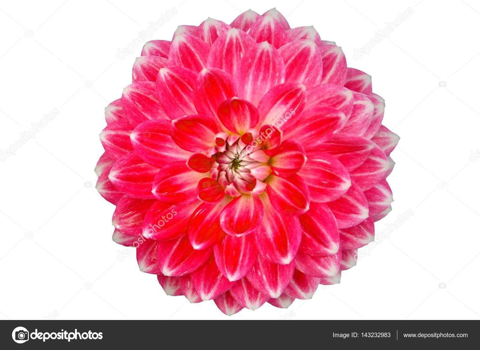 Beyaz Izole Tek çiçek Açan Yakın çekim Kırmızı Yıldız çiçeği çiçek