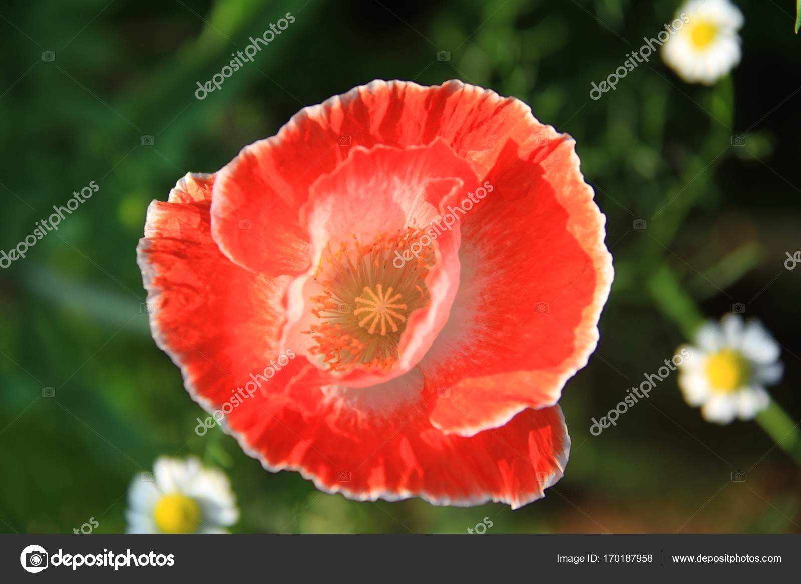 Close Up Top View Of Red Opium Poppy Flower Stock Photo