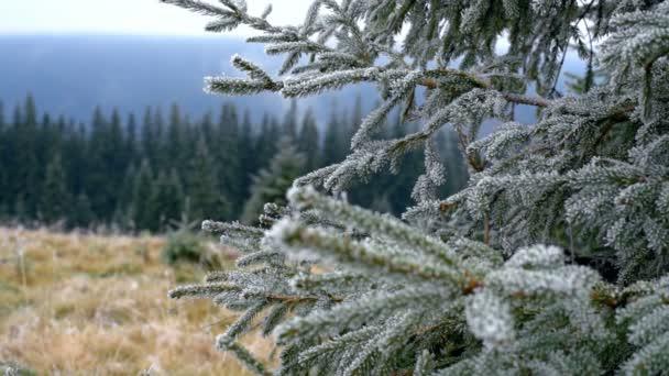 A hegyekben hoar lucfenyő