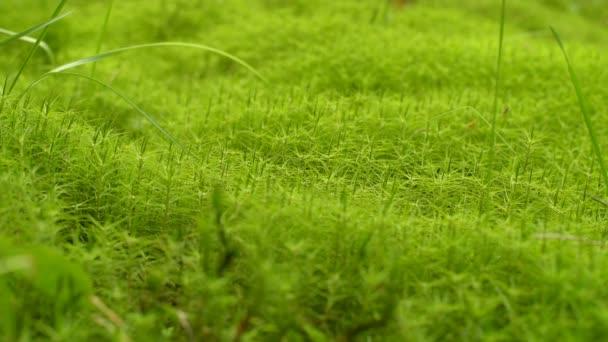 Moss Background Texture. Green moss texture background. Green moss background texture beautiful in nature. Green lichen.Nature background.