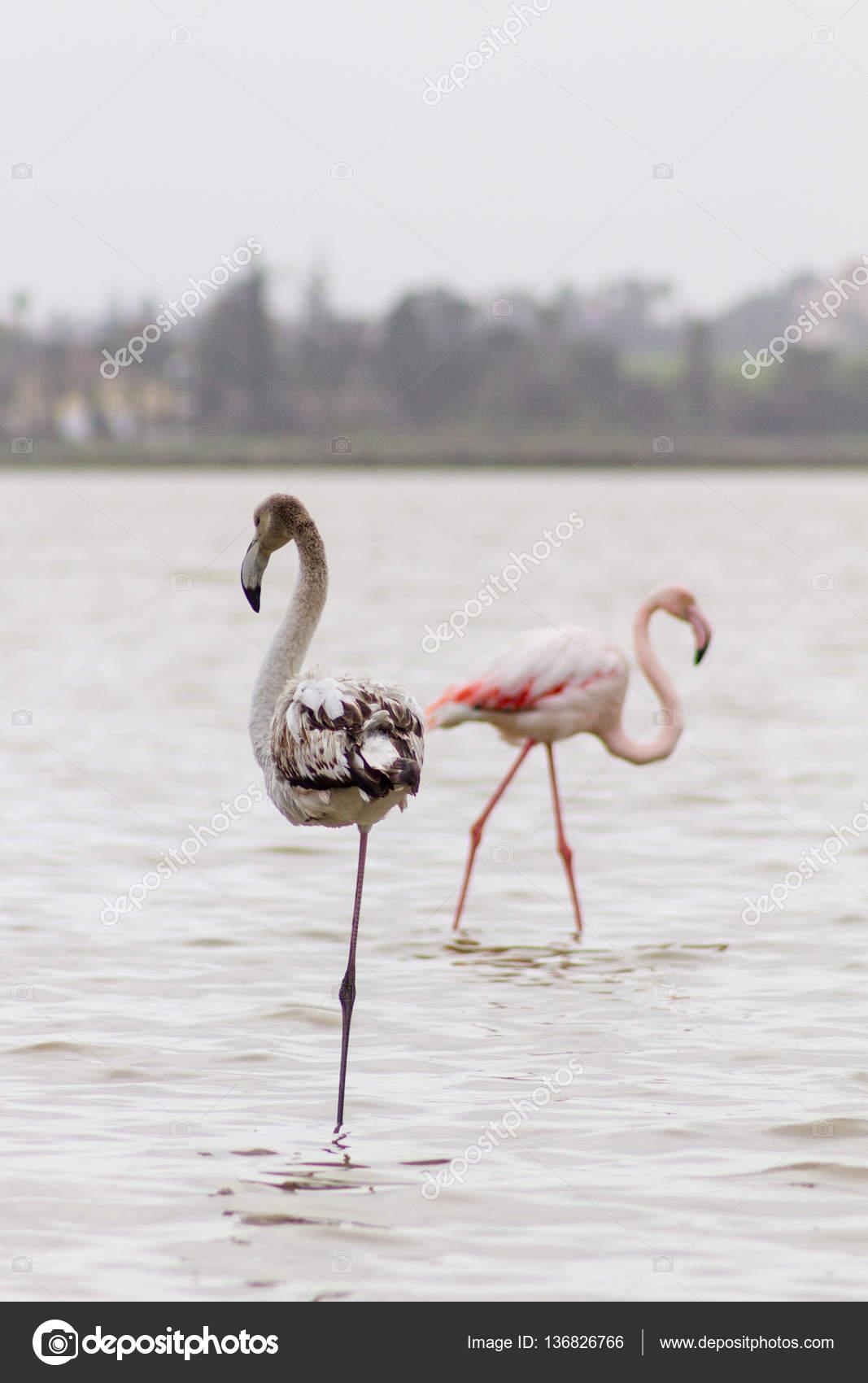 Ciemne I Różowe Flamingi W Larnaca Salt Lake W Cypr Zdjęcie