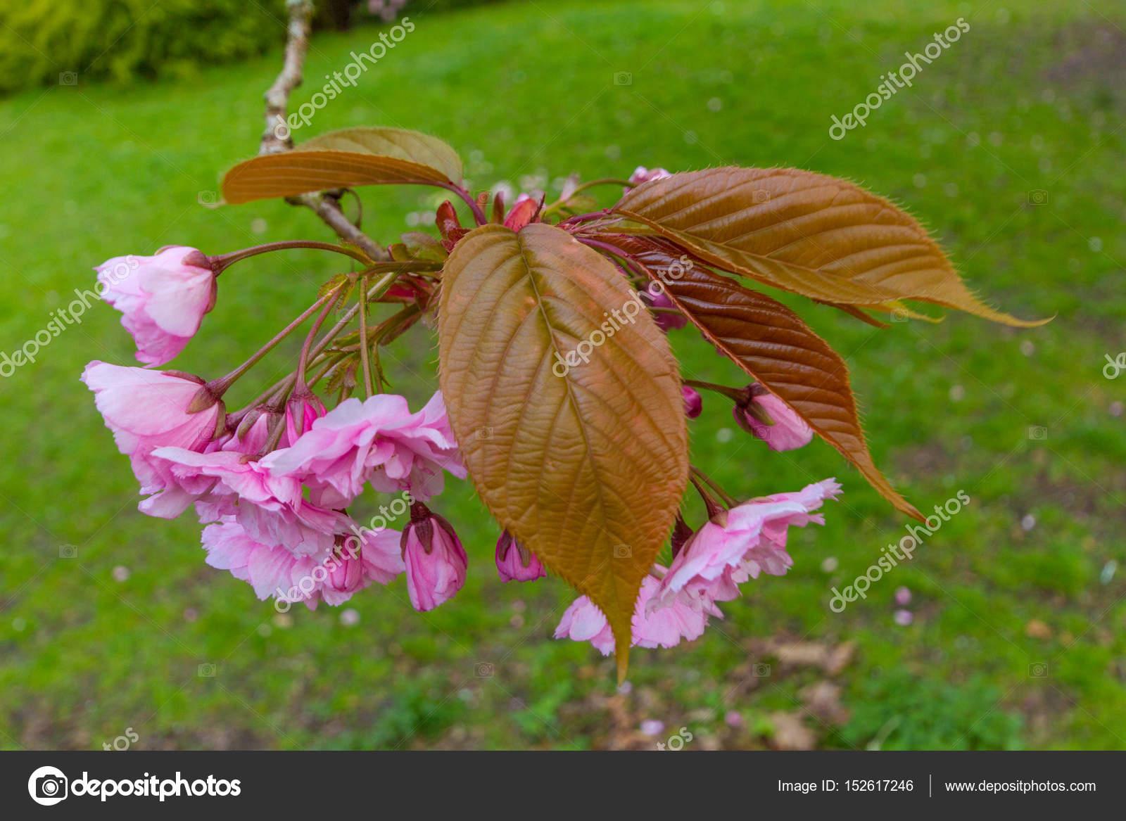 Blossoms And Leaves Of Kwanzan Cherry Tree Jesmond Dene Newcas Stock Photo Image By C Palliki 152617246