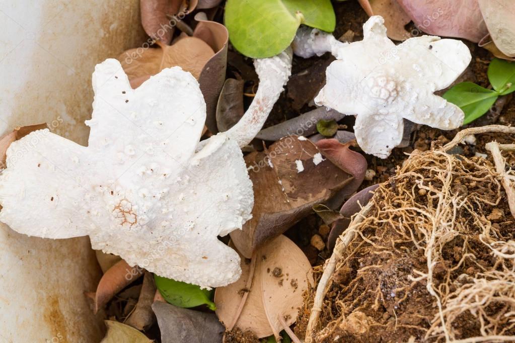 White bracket fungi