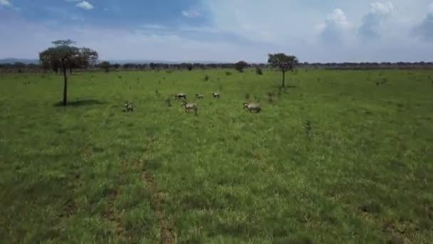 Anténa: Zebry v safari Tanzanie Mikumi