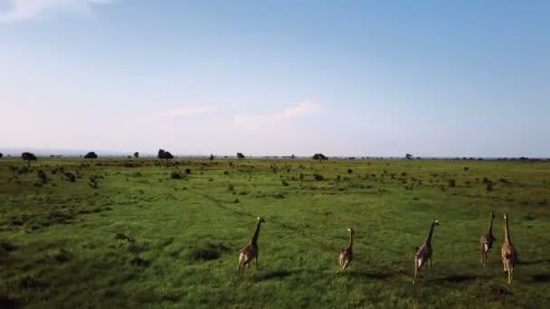 Anténa: Žirafy v safari Tanzanie Mikumi