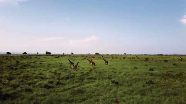 Antenna: Giraffe in Tanzania safari Mikumi