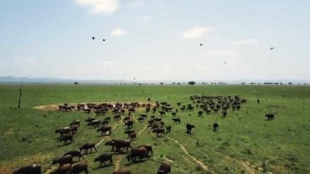 Légi járat buffalo stampede Tanzánia Safari Mikumi felett