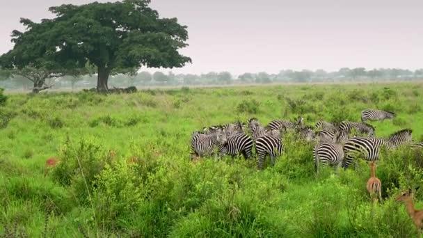 Zebrák legelnek a vad szavannában.