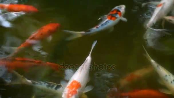 Skupina ozdobný kapr nebo barevné koi kapry plavat v čisté vodě rybníka