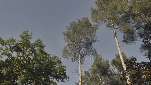 Crowns of pine on blue sky background. Coniferous tree with bark, sunrise in sunny weather. View from below, bottom view on tree, a frog perspective.