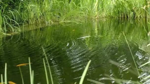 Kapra Koi v zahradním jezírku. Nedaleko je zvlněný povrch rybníka, trávy a rákosí. Plovoucí ryba ve vodě, zlatý tyglík