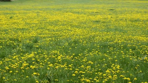 Gyermekláncfű a réten. Sárga virágok tavasszal a természetben. Mézgyártó üzem. Taraxacum officinale, alacsony mélységű terület