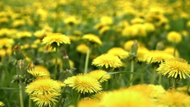 Dandelions on meadow. Yellow flowers in spring in nature. Honey production plant. Taraxacum officinale, low depth of field