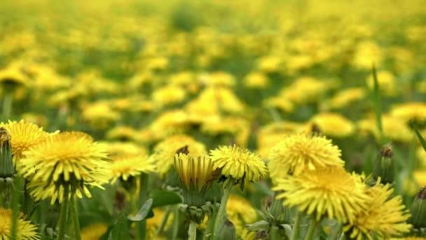 Pampelišky na louce. Žluté květy na jaře v přírodě. Výrobní závod medu. Taraxacum officinale, nízká hloubka pole