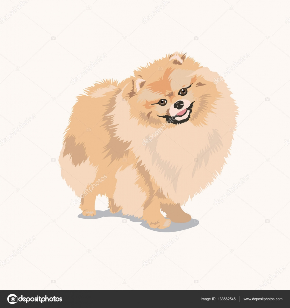 pomeranian vector pomeranian dog at white background stock vector 2122