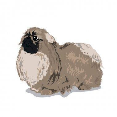 pekingese dog at one color background